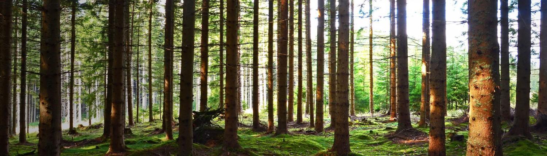 Wald, Lichtung, Bäume